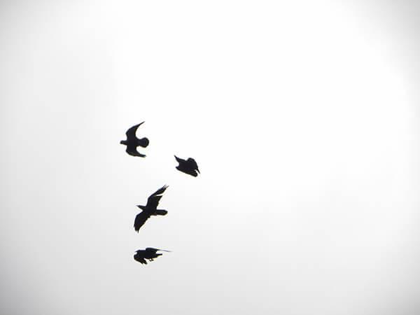 ravens in Sedona sky